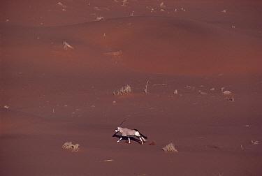 Gemsbok (Oryx gazella) running across desert, Namib Desert, Namibia  -  Jim Brandenburg