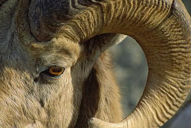 Bighorn Sheep (Ovis canadensis) face, Banff National Park, Alberta, Canada  -  Jim Brandenburg