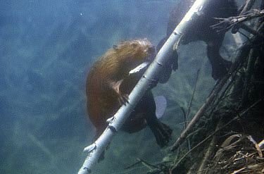 American Beaver (Castor canadensis) with a stick underwater, Minnesota  -  Jim Brandenburg