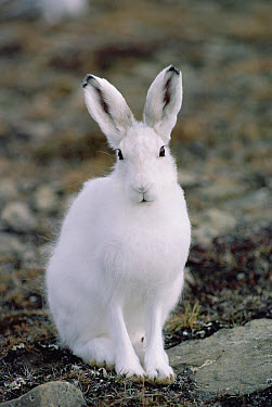 Arctic Hare (Lepus arcticus) in winter coat, Ellesmere Island, Nunavut, Canada  -  Jim Brandenburg
