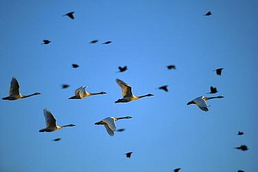 Tundra Swan (Cygnus columbianus) flock flying, Mattamuskeet National Wildlife Reserve, North Carolina  -  Jim Brandenburg
