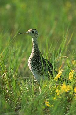 Upland Sandpiper (Bartramia longicauda) standing among green prairie grasses, South Dakota  -  Jim Brandenburg