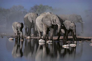 African Elephant (Loxodonta africana) herd at waterhole, Etosha National Park, Namibia  -  Jim Brandenburg