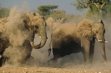 African Elephant (Loxodonta africana) pair taking a dust bath, Etosha National Park, Namibia  -  Jim Brandenburg