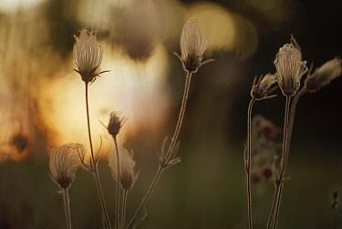 Prairie Smoke (Geum triflorum) flowers at dawn, North America  -  Jim Brandenburg
