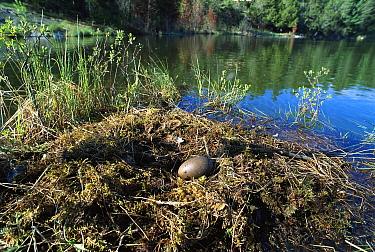 Common Loon (Gavia immer) egg in nest, Minnesota  -  Jim Brandenburg