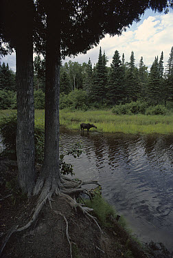 Moose (Alces alces andersoni) foraging on water plants in lake, Isle Royale National Park, Michigan  -  Jim Brandenburg