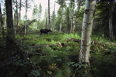 Moose (Alces alces andersoni) walking through boreal forest, Isle Royale National Park, Michigan  -  Jim Brandenburg