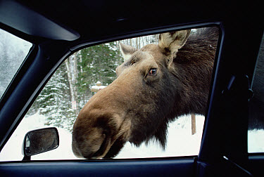 Moose (Alces alces andersoni) female looking in car window during winter, the animals lick salt off of cars, Minnesota  -  Jim Brandenburg