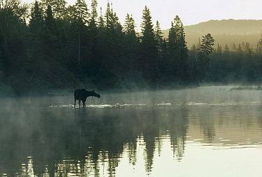 Moose (Alces alces andersoni) female feeding in lake, Isle Royale National Park, Michigan  -  Jim Brandenburg