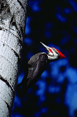 Pileated Woodpecker (Dryocopus pileatus) on tree trunk, Minnesota  -  Jim Brandenburg