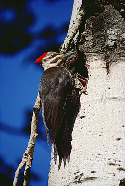 Pileated Woodpecker (Dryocopus pileatus) at nest  -  Jim Brandenburg