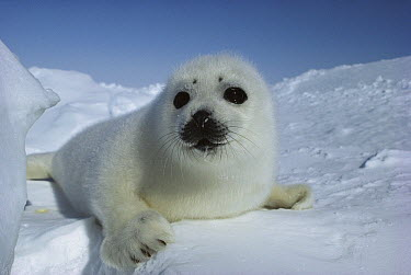 Harp Seal (Phoca groenlandicus) pup lying in the snow  -  Michio Hoshino