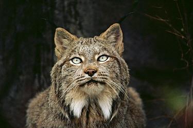 Canada Lynx (Lynx canadensis) portrait, North America  -  Jim Brandenburg