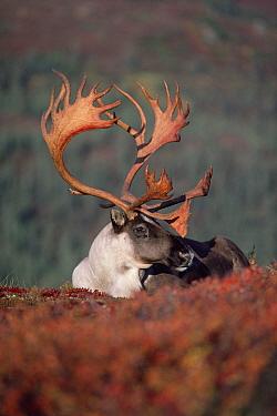 Caribou (Rangifer tarandus) bull, Alaska  -  Michio Hoshino