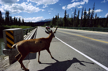 White-tailed Deer (Odocoileus virginianus) about to cross road in front of a moving vehicle, Banff Jasper Highway, Canada  -  Jim Brandenburg