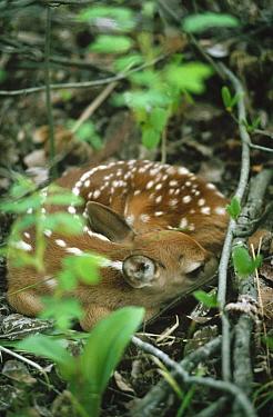 White-tailed Deer (Odocoileus virginianus) fawn curled up on forest floor, Minnesota  -  Jim Brandenburg
