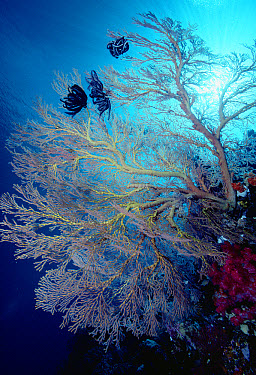 Common Lettuce Coral (Pectinia lactuca) and sea fan, Palau  -  Chris Newbert
