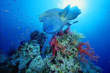 Double-headed Maori Wrasse (Cheilinus undulatus) swimming over coral reef, Red Sea, Egypt  -  Chris Newbert
