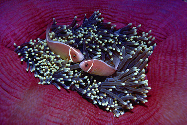Pink Anemonefish (Amphiprion perideraion) pair in Magnificent Sea Anemone (Heteractis magnifica), Papua New Guinea  -  Chris Newbert