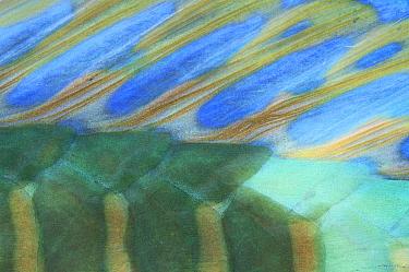 Pacific Longnose Parrotfish (Scarus longiceps) close-up detail, Solomon Islands  -  Birgitte Wilms