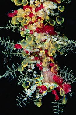 Hydroid (Pycnoclavella detorta) and Ascidians, Solomon Islands  -  Chris Newbert