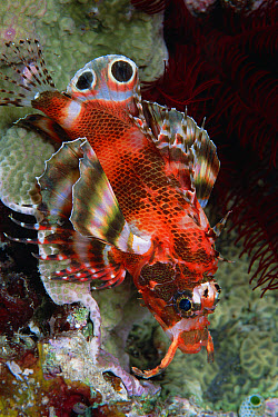Ocellated Lionfish (Dendrochirus biocellatus) nocturnal fish with two eye-spots on fin that mimic eyes of a predator, Solomon Islands  -  Chris Newbert