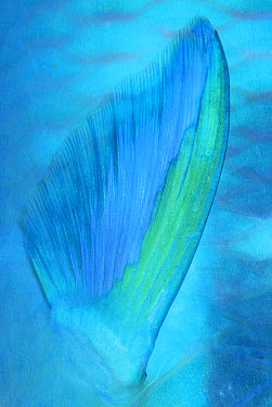 Dark-capped Parrotfish (Scarus oviceps) pectoral fin detail, Solomon Islands  -  Chris Newbert