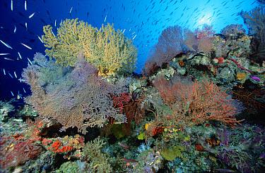 Coral reef scenic with Sponges, Sea Fans and reef fish, Solomon Islands  -  Chris Newbert