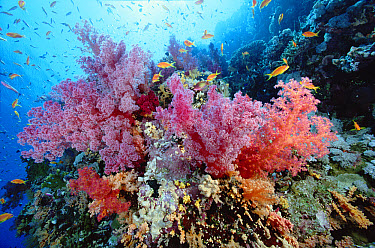 Soft Coral (Dendronephthya sp) outcroppings reef scenic, Red Sea, Egypt  -  Chris Newbert