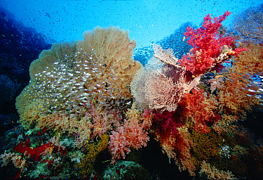 Reef scenic at 60 feet with Sea Fans, Soft Corals, Sponges and schools of Glassfish, Red Sea, Egypt  -  Chris Newbert