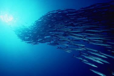 Pickhandle Barracuda (Sphyraena jello) school, Solomon Islands  -  Birgitte Wilms