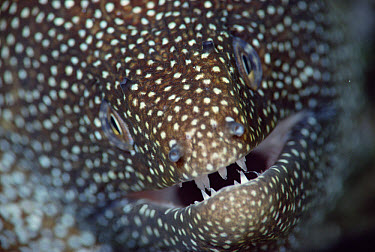 Whitemouth Moray (Gymnothorax meleagris), Hawaiian Islands  -  Chris Newbert