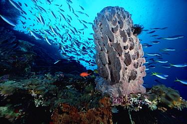 Sponge (Xestospongia sp), with school of Fusiliers passing overhead, Papua New Guinea  -  Chris Newbert