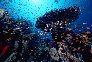 Table Coral and Glassfish on Coral Reef, Red Sea, Egypt  -  Chris Newbert