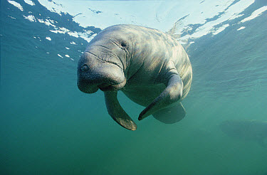 West Indian Manatee (Trichechus manatus) underwater, Florida  -  Chris Newbert