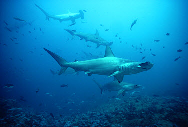 Scalloped Hammerhead Shark (Sphyrna lewini) school, Galapagos Islands, Ecuador  -  Chris Newbert
