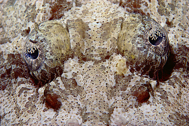Flathead (Platycephalus sp) close-up of eyes, Red Sea, Egypt  -  Chris Newbert