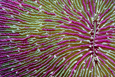 Mushroom Coral (Fungia fungites) detail, Palau  -  Chris Newbert