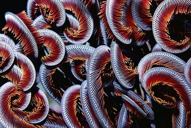 Sea Fan (Melithaea sp) detail of curled arms, Great Barrier Reef, Australia  -  Chris Newbert