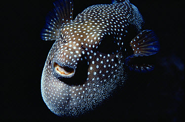 Guineafowl Pufferfish (Arothron meleagris) portrait, Kona, Hawaii  -  Chris Newbert