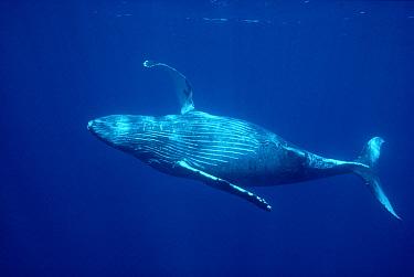Humpback Whale (Megaptera novaeangliae) swimming underwater with pectoral fin raised, Kona, Hawaii  -  Chris Newbert