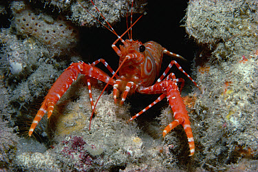 Bullseye Reef Lobster (Enoplometopus holthuisi), Kona, Hawaii  -  Chris Newbert