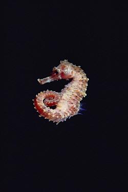 Yellow Sea Horse (Hippocampus kuda) portrait, underwater, Kona, Hawaii  -  Chris Newbert