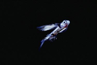 Flying Fish (Cypselurus sp), Kona, Hawaii  -  Chris Newbert