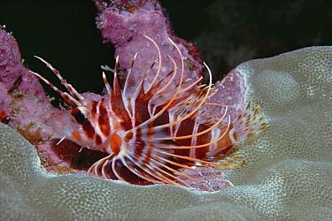 Common Lionfish (Pterois volitans) underwater among various corals, Kona, Hawaii  -  Chris Newbert