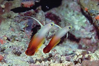 Fire Goby (Nemateleotris magnifica) pair, underwater, Fiji  -  Chris Newbert
