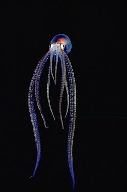 Octopus (Octopus sp) portrait, underwater, Kona, Hawaii  -  Chris Newbert