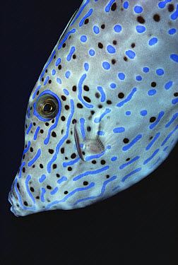 Scrawled Filefish (Alutera scriptus) profile off of the Kona Coast, Hawaii  -  Chris Newbert