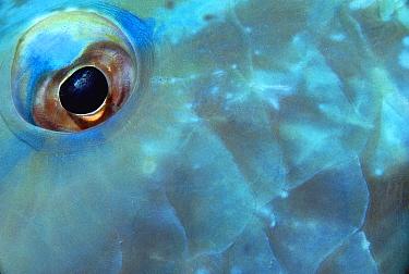 Blue Parrotfish (Scarus coeruleus) eye, Belize  -  Chris Newbert